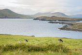 stock photo of sea cow  - Cow eating in a seascape in a cloudy day in Valentia Island Ring of Kerry Ireland - JPG