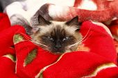 stock photo of rag-doll  - angry rag doll cat on her bed - JPG