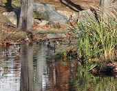 foto of cattail  - Woods ducks together in a pond with cattail leaning over them in New Rochelle - JPG