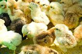 Many  Little Chicken Farm