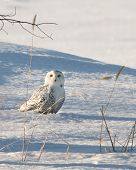 foto of snow owl  - Snowy owl on the ground snow staring at viewer.