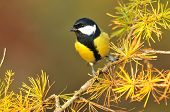 picture of great tit  - Photo of great tit on conifer tree - JPG