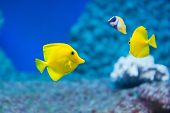 stock photo of saltwater fish  - Zebrasoma flavescens - yellow tang - saltwater fish