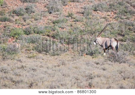 Oryx or gemsbok in the Karoo National Park