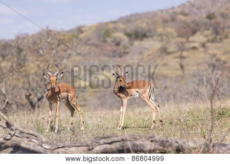 Buck Impala Wildlife