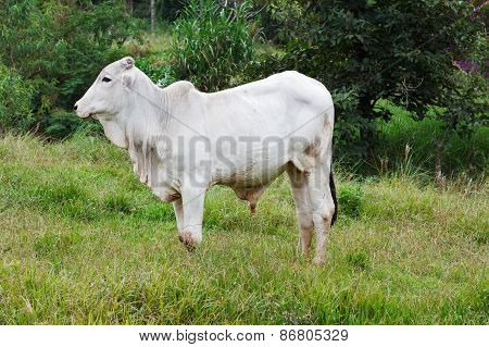 Brazilian Breed Nellore Beef Cattle Bull In Green Grass