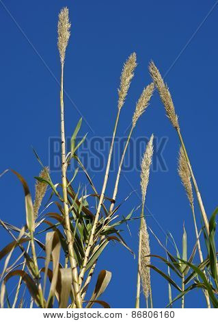 reeds in the wind on blue sky