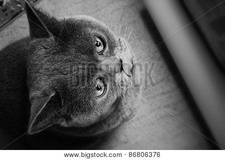 Grey British Cat Close Up