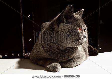 Gray British Cat  Lying Near Suitcase