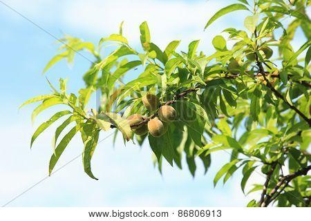 Sweet peach fruits