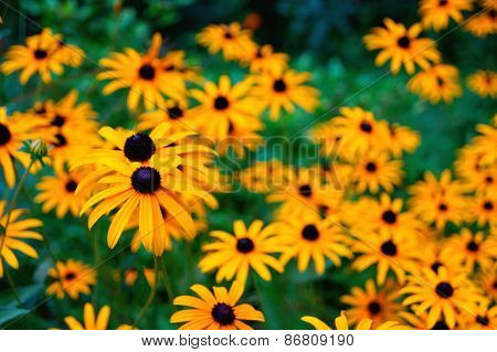 Yellow Flower Background (Echinacea)