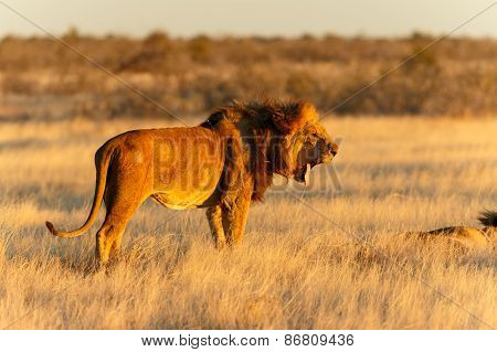 Lion Male Resting Yawning After Catch