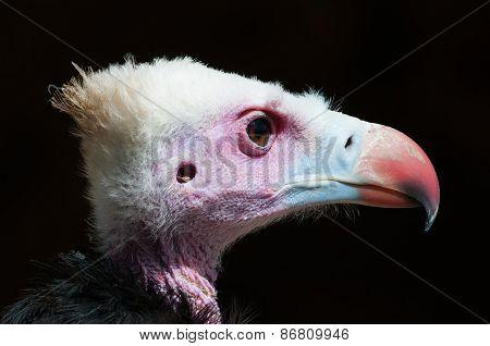 Vulture face