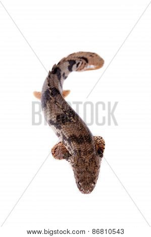 Saddled Bichir On White Background