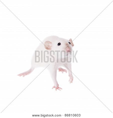 White Laboratory Rat On White