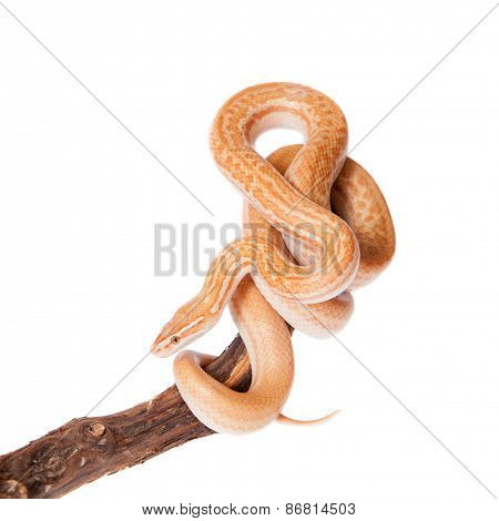 Coiled Cape House Snake On White Backgroun