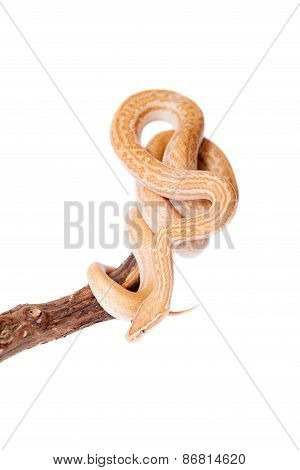 Coiled Cape House Snake On White Background