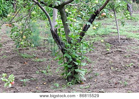Blackened Trunk Of Apple Trees Diseased