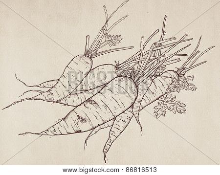 Hand Drawn Illustration Of Carrot