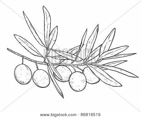 Hand Drawn Line Art Illustration Of Olive Branch. Isolated On White Background