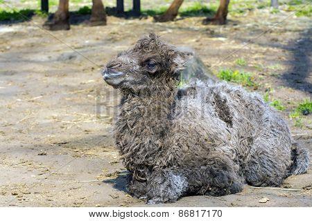 Bactrian Camel (camelus Bactrianus) Calf