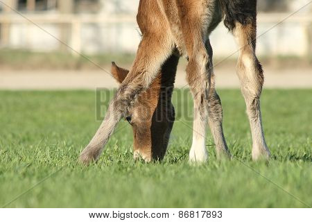 Cute foal eating grass.