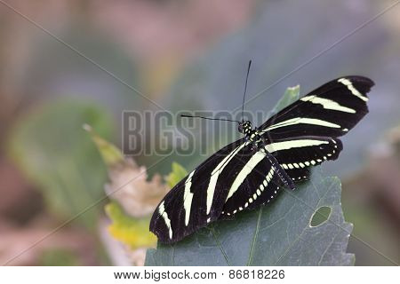 adult Heliconius charithonia (Zebra Longwing)