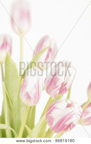 Tulips With Faded Colors