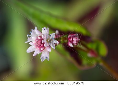 Closeup of Persicaria Microcephala 'purple Fantasy' Flowers