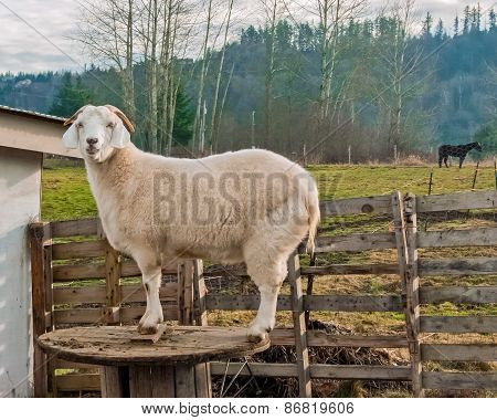 Farm Goat Posing On A Wooden Spool
