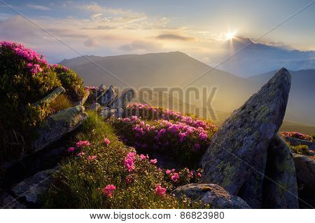 Mountain landscape. Sunlight. Rhododendron flowers. Beauty in nature