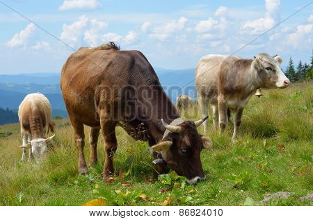 Mountain pasture. Cows with bells