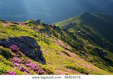 Landscape with flowers. Summer in the mountains. Blooming rhododendron