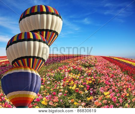 The cluster from three big balloons is decorated a landscape. Big fields of multi-colored buttercups. Spring windy day on a flower farm.