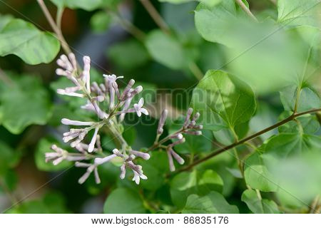 Closeup Of Lilac Flower And Bud