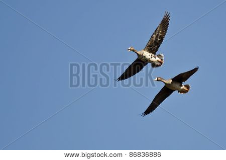Greater White-fronted Goose Calling While Flying In A Blue Sky