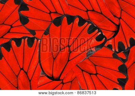 Red And Black Background Of Golden Birdwing Butterfly