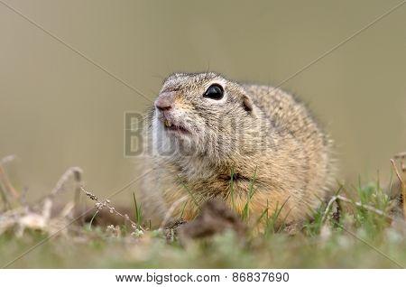 cute European ground squirrel on field (Spermophilus citellus)
