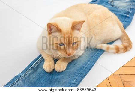 Cat With Blue Jeans