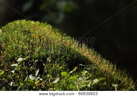 Moss Covered Tree Limb Seedlings And Young Plants. Rays Of Light Reaching The Fleece.