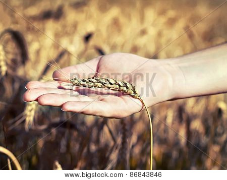 Spica Wheat Lying On A  Palm