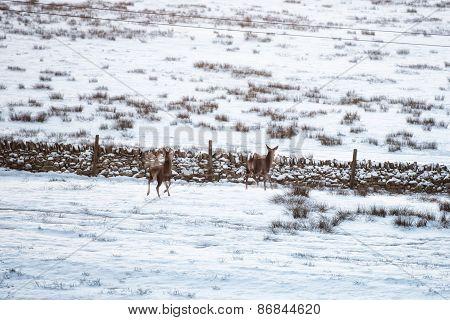 Deer stood in a wintry field