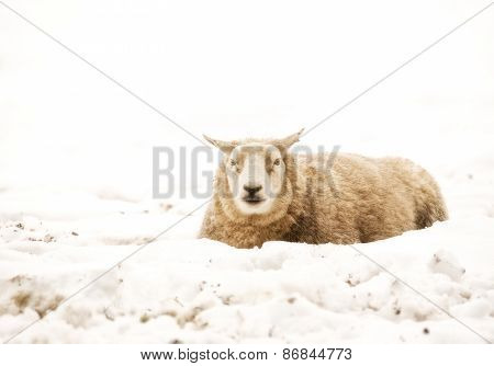 Sheep sat in the snow