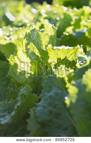 Background Of Growing Lettuce Vegetable Greens On Garden Bed