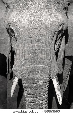 Close up portrait of large wild african elephant