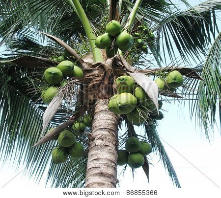 Green coconuts hanging on palm