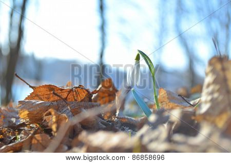 Growing snowdrop in a forest