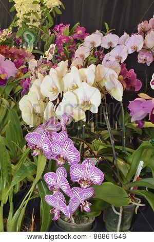 Moth Orchids - Phalaenopsis