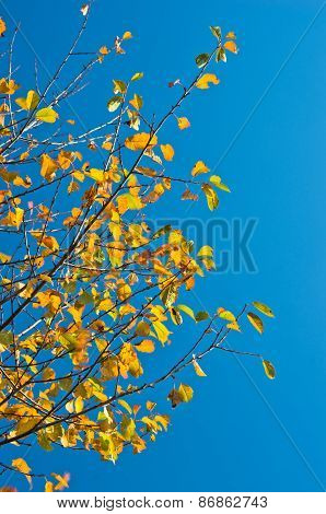 Yellow leaves against blue sky at sunny autumn morning