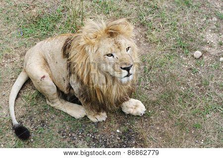 Lion , Safari Park Taigan, Crimea.